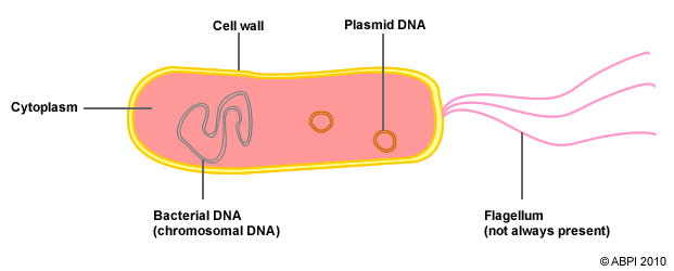 Basic bacteria diagram house wiring diagram symbols bacteria abpi resources for schools rh 6636 stem org uk simple bacteria diagram basic bacterial cell diagram ccuart Image collections